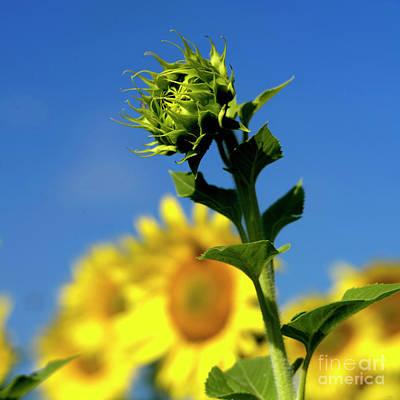 Close Uo Of Sunflower Poster by Bernard Jaubert