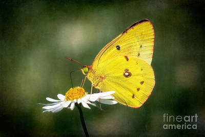 Clouded Sulphur Butterfly Poster by Susan Isakson