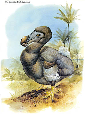 Common Dodo Poster by Photo Researchers