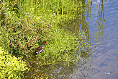 Common Moorhen At The Waters Edge Poster by Roena King