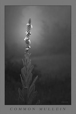 Common Mullein Poster by Ron Jones