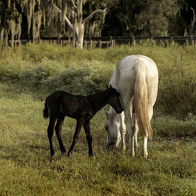 Cracker Foal And Mare Poster by Lynn Palmer