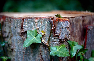 Creeping Plant On Bole Poster by Marcio Faustino