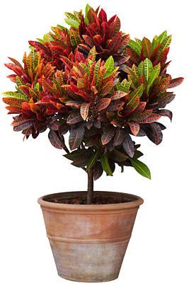 Croton Tree In Flowerpot Poster by Atiketta Sangasaeng