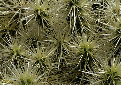 Cylindropuntia Tunicata Close-up Of Cactus Spikes, Lanzarote Poster by Suzie Gibbons