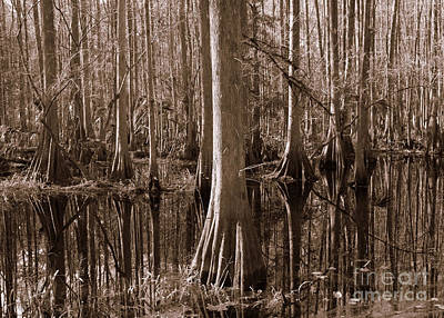 Cypress Swamp Reflection In Sepia Poster by Carol Groenen