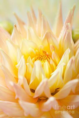 Dahlia Flower 10 Poster by Nailia Schwarz