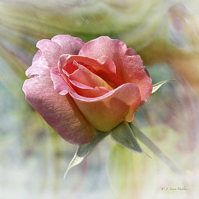 Dew Drop Pink Rose Poster by J Larry Walker