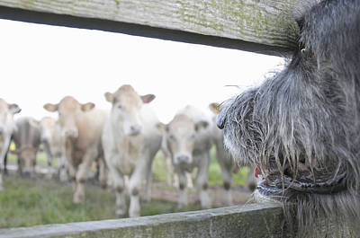 Dog Watching Cows Through Fence Poster by Cecilia Cartner
