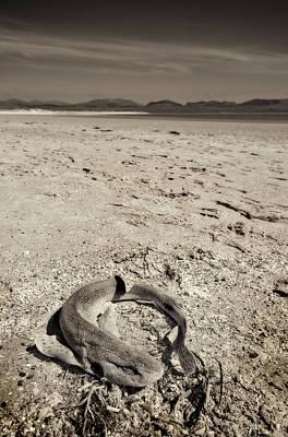 dogfish at Newborough Beach Poster by Meirion Matthias