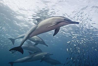 Dolphins And Sardines Poster by Dmitry Miroshnikov