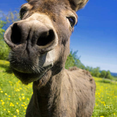 Donkey. Closeup Poster by Bernard Jaubert