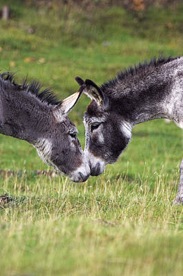 Donkeys Touching Noses Poster by Duncan Shaw
