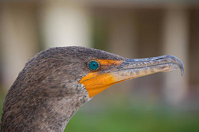 Double-crested Cormorant Poster by Rich Leighton