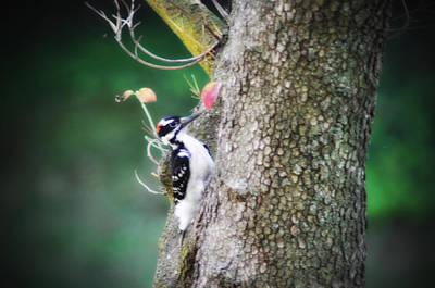 Downy Woodpecker Poster by Bill Cannon