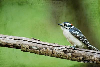 Downy Woodpecker Poster by Darren Fisher