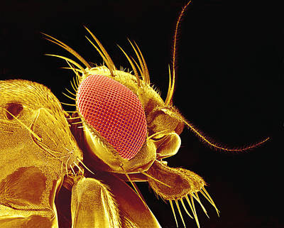Drosophila Fly, Sem Poster by Susumu Nishinaga