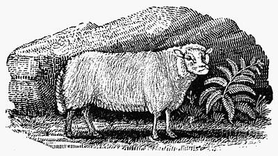 Dwarf Sheep, C1800 Poster by Granger