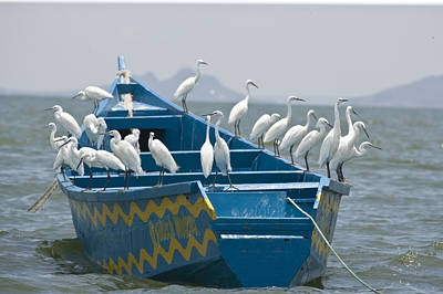 Egrets On A Blue Boat With A Yellow Poster by Michael Poliza