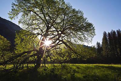 Elm In Cook's Meadow II Poster by Rick Berk