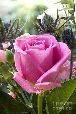 English Pink Rose Close Up Poster by Simon Bratt Photography LRPS