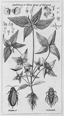 Engraving Of Jamaican Plant And Cockroach Poster by Middle Temple Library