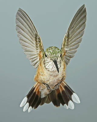 Female Broadtail Hummingbird Poster by Gregory Scott