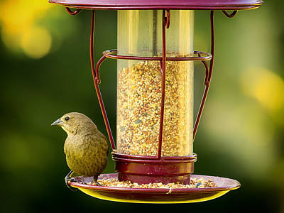 Female Cowbird On Feeder Poster by Bill Tiepelman