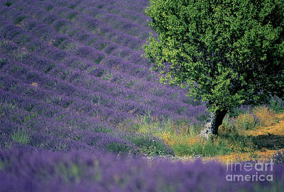 Field Of Lavender Poster by Bernard Jaubert