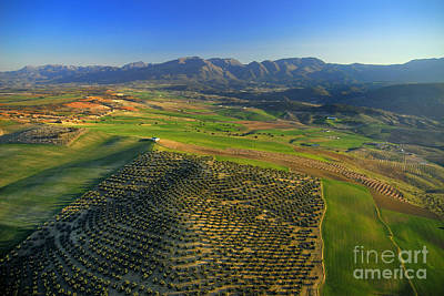 Olives Field From The Air Poster by Guido Montanes Castillo