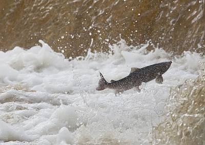Fish Jumping Upstream In The Water Poster by John Short
