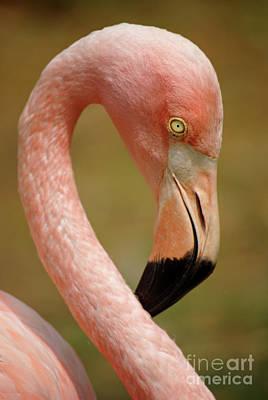 Flamingo Head Poster by Carlos Caetano