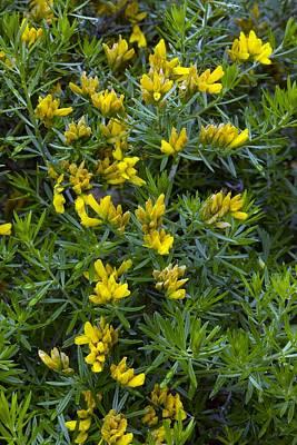 Flax Broom (genista Linifolia) Poster by Bob Gibbons
