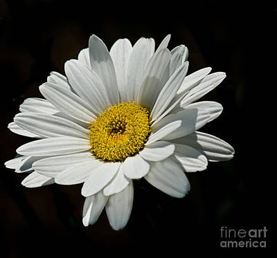 Floating Daisy Poster by Robert Bales