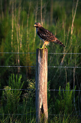 Florida Red-shouldered Hawk Poster by Ronald T Williams