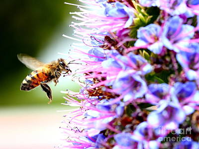 Flying Bee On Purple Pride Of Madeira Flowers . 7d14843 Poster by Wingsdomain Art and Photography