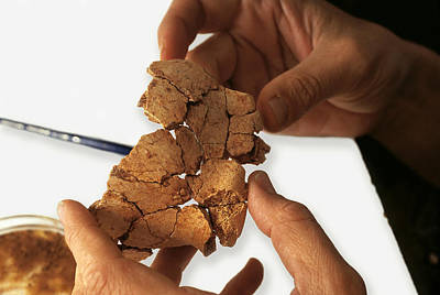 Fossilised Frontal Bone, Gran Dolina Poster by Javier Truebamsf