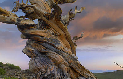 Foxtail Pine Tree Twisted Trunk Of An Poster by Tim Fitzharris