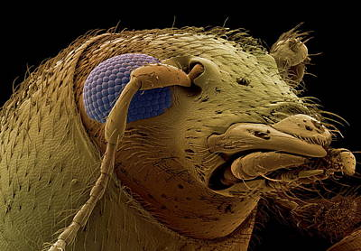 Fungus Weevil Head, Sem Poster by Steve Gschmeissner