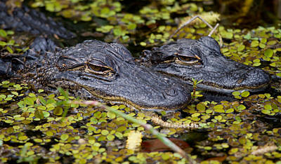 Gator Babies Poster by Andres Leon