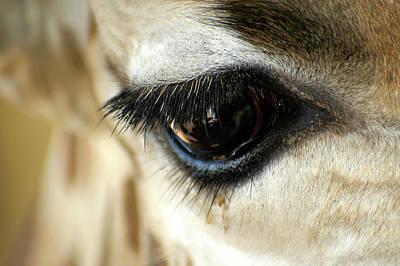 Giraffe Eye Reflection Poster by Carolyn Marshall