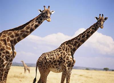 Giraffe Standing In Dry Grass On The Poster by Axiom Photographic
