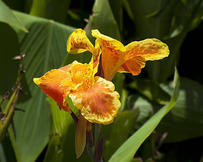 Golden Canna Poster by Kenneth Albin