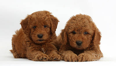 Goldendoodle Puppies Poster by Mark Taylor