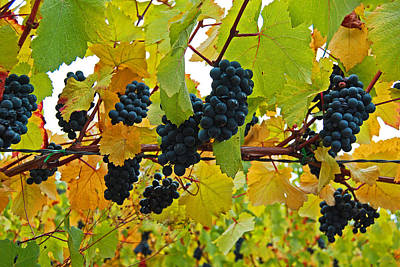 Grapes On The Vine Poster by Jani Freimann