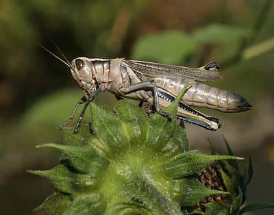 Grasshopper Poster by Ernie Echols