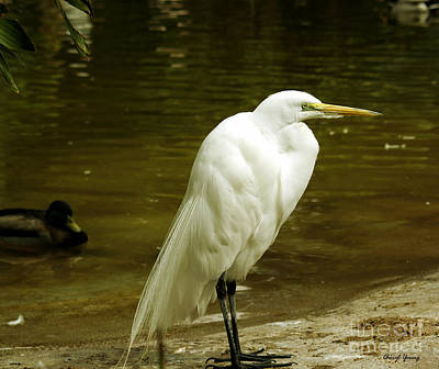 Great Egret 2 Poster by Cheryl Young