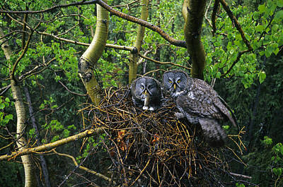 Great Gray Owls,  Male Has Brought Poster by Michael S. Quinton