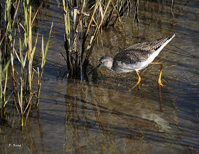 Greater Yellowlegs At Spi Poster by Roena King