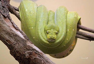 Green Tree Python Poster by Suzanne Gaff